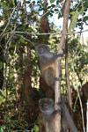 Eastern Lesser Bamboo Lemur (Hapalemur griseus) [madagascar_1511]