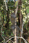 Gray Bamboo Lemur (Hapalemur griseus) [madagascar_1516]