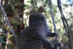 Eastern Lesser Bamboo Lemur (Hapalemur griseus) [madagascar_1532]