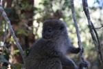 Eastern Lesser Bamboo Lemur (Hapalemur griseus) [madagascar_1533]
