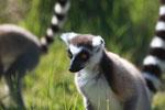 Ring-tailed lemur (Lemur catta) [madagascar_1543]