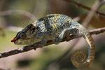 Male Elephant-eared Chameleon (Calumna brevicorne) [madagascar_1575]