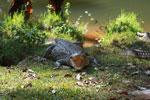 Madagascar crocodile [madagascar_1585]
