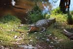 Madagascar crocodile (Crocodylus niloticus) [madagascar_1588]