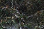 Madagascar Bulbul