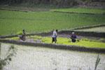 Rice cultivation in Madagascar [madagascar_1665]