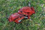 Tomato frog (Dyscophus antongilii) [madagascar_1804]