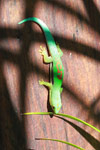 Lined Day Gecko (Phelsuma lineata) [madagascar_1857]