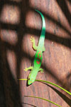 Lined Day Gecko (Phelsuma lineata) [madagascar_1858]