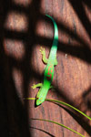 Lined Day Gecko (Phelsuma lineata) [madagascar_1859]