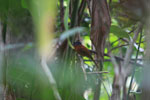 Female Madagascar Paradise-flycatcher (Terpsiphone mutata)