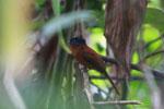 Female Madagascar Paradise-flycatcher (Terpsiphone mutata) [madagascar_1890]