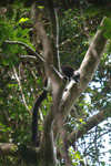 Black-and-white Ruffed Lemur (Varecia variegata) with radio collar