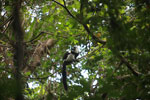 Black-and-white Ruffed Lemur (Varecia variegata) [madagascar_1939]