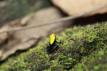 Green-backed mantella frog (Mantella laevigata) [madagascar_1966]