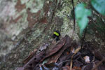 Green-backed mantella frog (Mantella laevigata) [madagascar_1994]