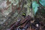 Green-backed mantella frog (Mantella laevigata) [madagascar_1994]