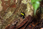 Green-backed mantella frog (Mantella laevigata) [madagascar_1995]