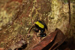 Green-backed mantella frog (Mantella laevigata) [madagascar_1996]