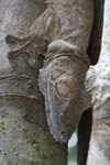 Gecko headshot [madagascar_2051]
