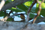 Madagascar Kingfisher (Alcedo vintsioides)