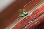 Green wasp (possibly Chrysididae family)