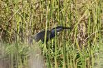 Black-headed Heron (Ardea melanocephala) [madagascar_2167]
