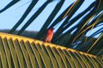 Red fody [madagascar_2205]