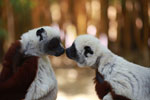 Coquerel's sifakas kissing [madagascar_2317]