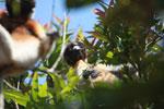 Crowned Sifaka (Propithecus coronatus) [madagascar_2327]
