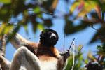 Crowned Sifaka (Propithecus coronatus) [madagascar_2329]