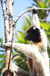Crowned Sifaka (Propithecus coronatus) [madagascar_2337]