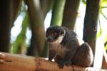 Mongoose Lemur (Eulemur mongoz) [madagascar_2343]
