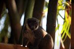 Mongoose Lemur (Eulemur mongoz) [madagascar_2344]