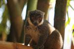 Mongoose Lemur (Eulemur mongoz) [madagascar_2346]