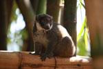 Mongoose Lemur (Eulemur mongoz) [madagascar_2349]