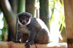 Mongoose Lemur (Eulemur mongoz) [madagascar_2350]