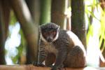 Mongoose Lemur (Eulemur mongoz) [madagascar_2352]