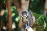 Mongoose Lemur (Eulemur mongoz) [madagascar_2363]