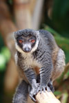 Mongoose Lemur (Eulemur mongoz) [madagascar_2364]