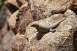 Lizard [madagascar_2387]