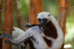 Coquerel's Sifaka eating leaves [madagascar_2419]