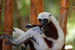 Coquerel's Sifaka eating leaves [madagascar_2419]