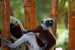 Coquerel's Sifaka eating leaves [madagascar_2420]
