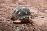Radiated tortoise [madagascar_2424]