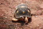 Radiated tortoise [madagascar_2426]