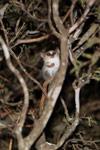 Gray Mouse Lemur (Microcebus murinus) [madagascar_2459]