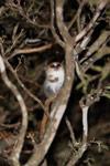 Gray Mouse Lemur (Microcebus murinus) [madagascar_2465]