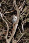 Gray Mouse Lemur (Microcebus murinus) [madagascar_2468]