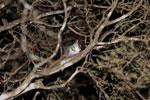 Gray Mouse Lemur (Microcebus murinus) [madagascar_2469]